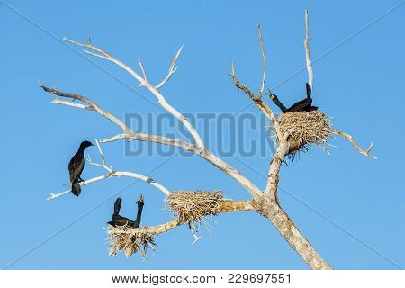 Double-crested Cormorants Singing To Attract Their Mates