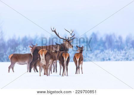 Winter Wildlife Landscape With Noble Deers Cervus Elaphus. Many Deers In Winter. Deer With Large Hor