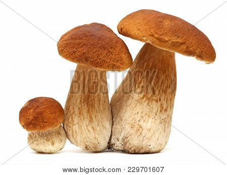Family Of White Porcini. Wild Foraged Mushroom Selection Isolated On White Background, With Shadow.