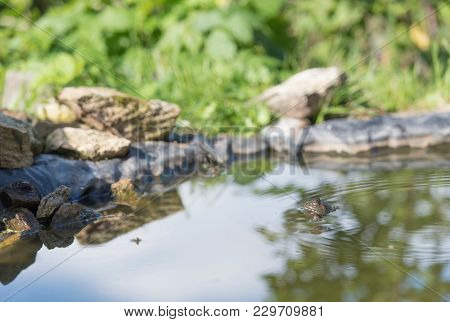 Swimming green frog in lake