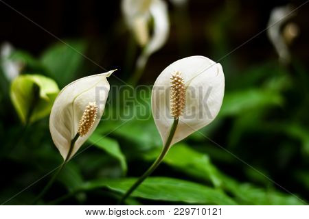 Some Focus And Close Up The Texture Of White Pollen Of Two White Anthuriums And Blur Petals And Blur
