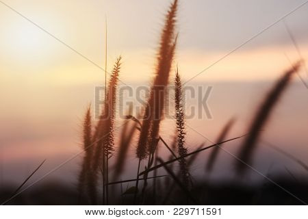 Some Focus And Close Up Blur The Silhouette Of The Grass Flower With Light Sun Or Shadow Of The Gras