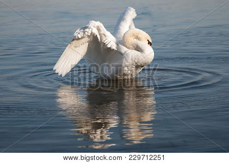 Mute Swan, Cygnus Olor, White Swan, While Spreading Wings, Cleaning His Feathers, Reflected On The R