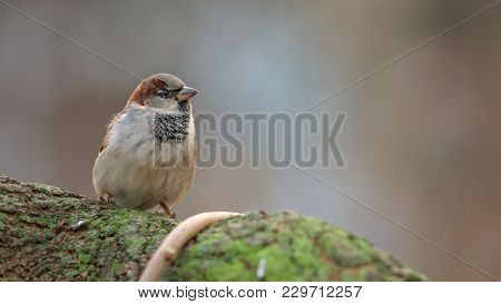 House Sparrow, Passeridae, Passer Domesticus, Male, Sitting On The Mossy Tree In The Sunny Day, Agai