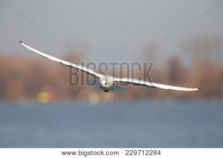 Black-headed Gull, Chroicocephalus Ridibundus, Winter Plumage, Wide Spreading His Wings And Flying T
