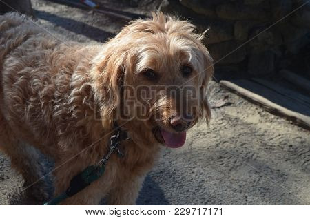 My Pal Tessa Who Is A Golden Doodle Mix Going On Ten Years Old.
