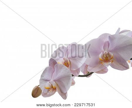 Pink Orchid with Copy Space