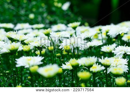 White Chrysanthemums Flowers On The Background Of The Garden Landscape During Summer Season. Chrysan