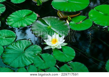 White Water Lily Blooms In A Pond. White Lotus Which Has Yellow Pollen In Winter. Flower Of A Single