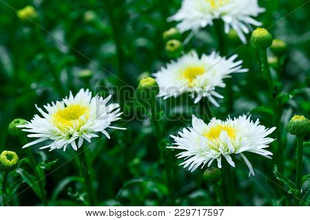 Chrysanthemums Blooms Isolated In White Color With Selective Focus On Top Of Flowers. White Chrysant
