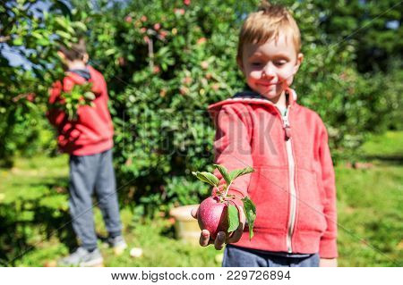 Children Gather Apples In The Orchard. Smiling Boy Holding A Ripe Apple In His Hand On A Farm. Selec