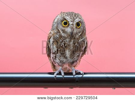Little Owl Isolate On Pink Background