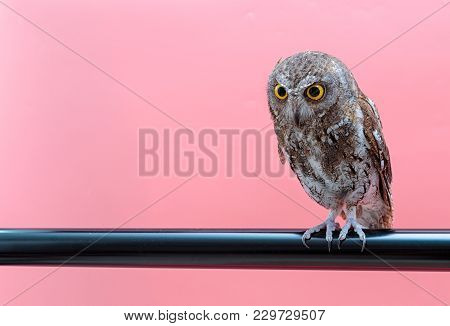 Little Scops Owl Isolate On Pink Background With Copy Space