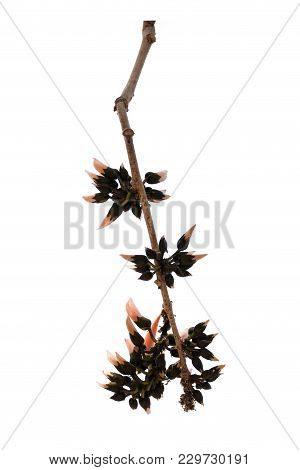 Butea Monosperma Is A Species Of Butea Native To Tropical And Sub-tropical Parts Of The Indian Subco