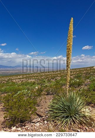 Sotol Plant With Creosote Bushes And Desert Landscape In The Background