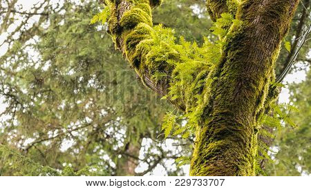 Moss Covered Trees With Fresh Green Ferns Sprouting From The Branches