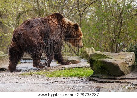 Big Wet Brown Bear In A Zoo On An Artificial Rock.