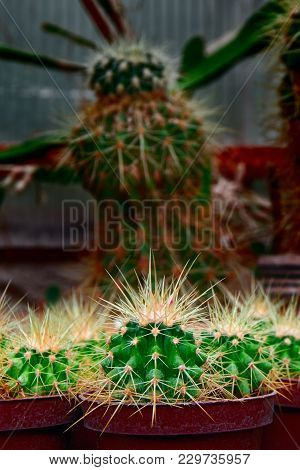 Group Bright Green Cacti With Long Yellow Spines. Young Small Plants On Dark Background In Greenhous
