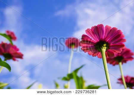 Pink Zinnia Elegans Flower In Nature Garden