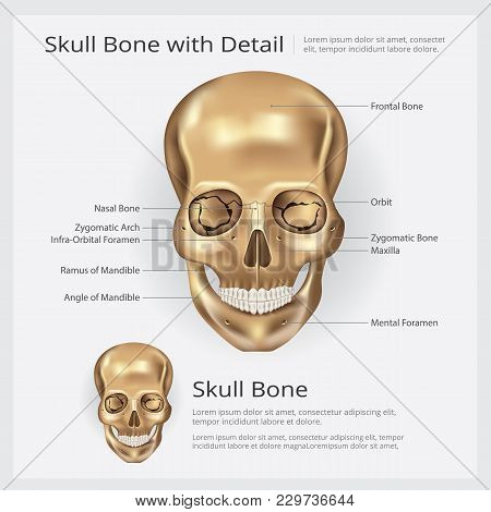 Human Bone Skull Anatomy With Detail Vector Illustration