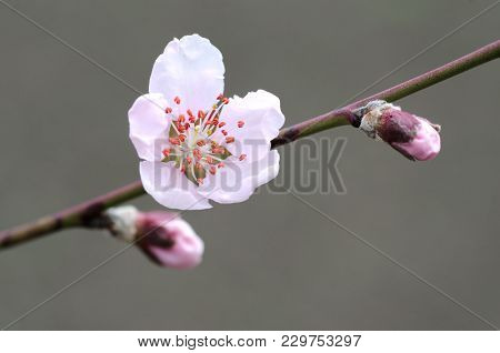 Branch With Pink Blossoms Apricot In Spring