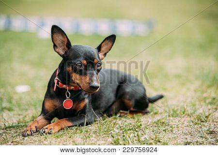 Black Miniature Pinscher Zwergpinscher, Min Pin Sitting On Green Grass.