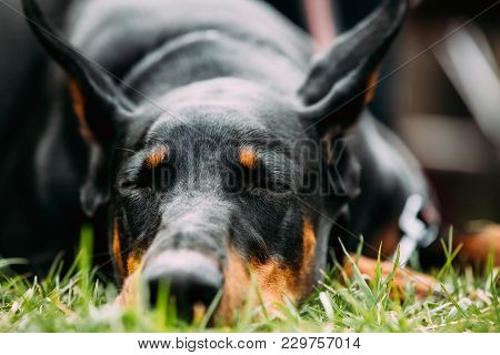 Young, Beautiful, Black And Tan Doberman Resting In Green Grass. Dobermann Is A Breed Known For Bein