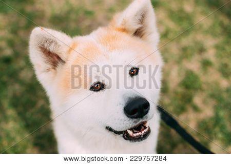 Close View Of Akita Dog Or Akita Inu, Japanese Akita Outdoor. Smiling Dog.