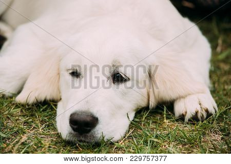 Close View Of Beautiful White Dog Labrador Puppy Whelp Lying In Green Grass.