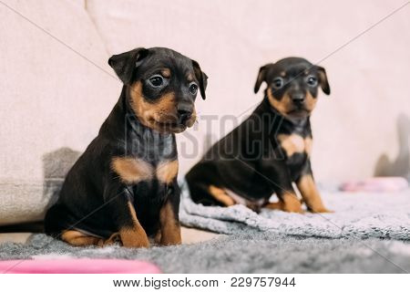 Two Small Black Miniature Pinscher Zwergpinscher, Min Pin Puppy Dogs Sitting On Floor.