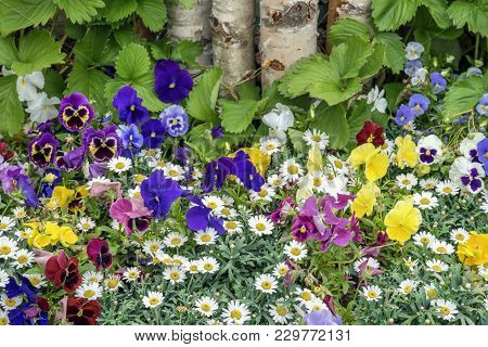 Colorful Brightly And Vivid Blooming Summer Or Spring Flowers On Lawn Or Meadow, Rustic Style. Beaut