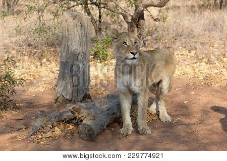 A Young Lion In South Africa - Africa