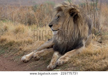 Amazing Lion In The Kruger National Park