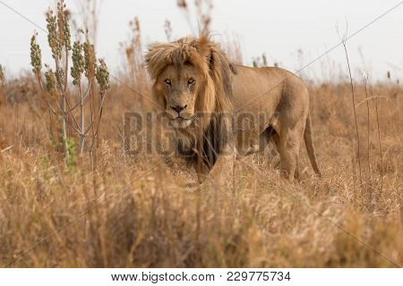 An Amazing Male  Lion In South Africa