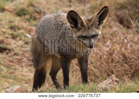 A Bat Eared Fox In South Africa