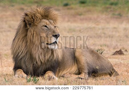 Beautiful Lion In The Kruger National Park