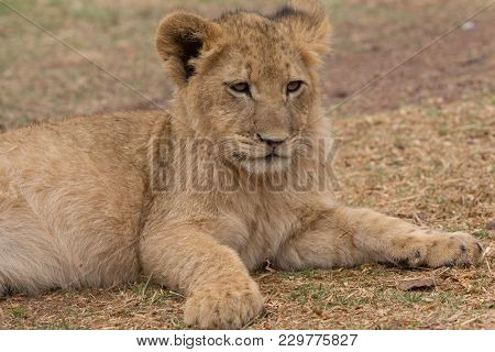 A Lion Cub Lying In South Africa