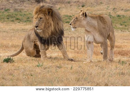 Male And Female Lion In South Africa