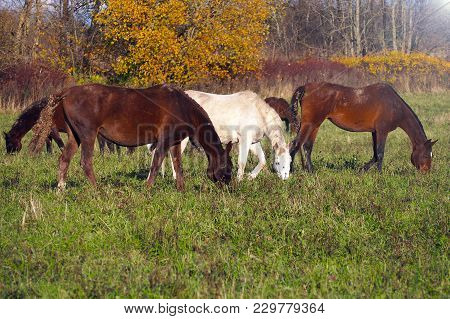 A Herd Of Wild Unattended Horses Grazing On A Summer Meadow. Free Mustangs In The Field.
