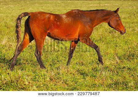 Wild Bay Horse Walking On A Green Meadow. Mustang Free In The Herd On The Field.