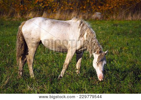 Shabby White Wild Free Horse. The Herd Unattended In Nature.