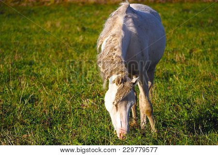 Wild Unkempt White Loose Horse Eats Grass. The Herd Unattended In Nature.