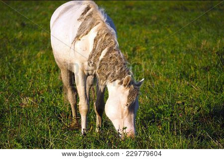 Wild Unkempt White Horse Eats Grass. The Herd Unattended In Nature.