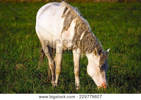 Unkempt White Horse Eats Grass. The Herd Unattended In Nature.