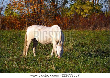 Wild Unkempt White Loose Horse. The Herd Unattended In Nature.