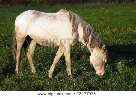 White Impure Horse Eats Grass. The Herd Unattended In Nature.