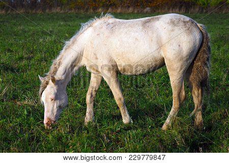 Wild Unkempt White Horse Grazing In A Green Field.