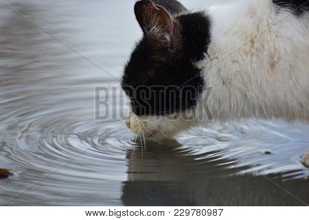 A Cat Drinking Water In A Puddle