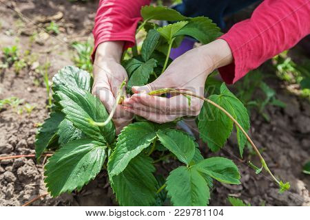 Pruning Shears The Whiskers On Strawberry Closeup In Spring Time