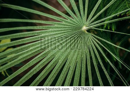 Green Leaves Of Chamaerops Humilis In Botanical Garden.